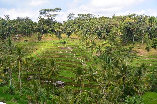 tagal lalang rice fields bali